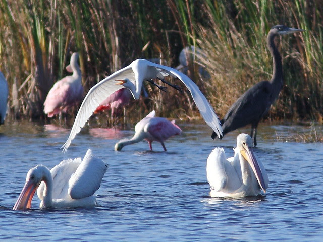 Great Egret with Imm Great Blue and pelicans 20121125