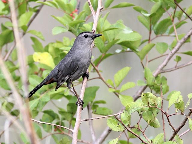 Gray Catbird 20130416