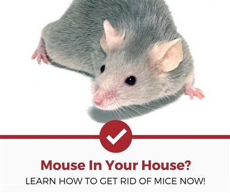 How to Get Rid of Mice (Natural & Non Natural Methods)   Pest Strategies
