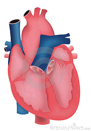 Mehrapensmin heart diagram unlabeled diagram not labeled ccuart Choice Image