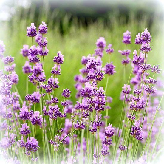 photo lavender_zpsbda133cc.jpg