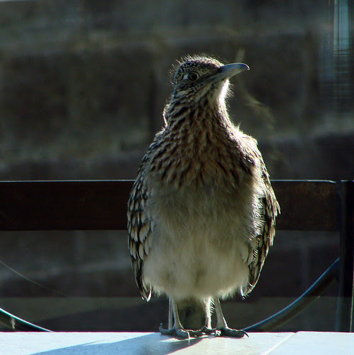 Greater Roadrunner looking through the window at us