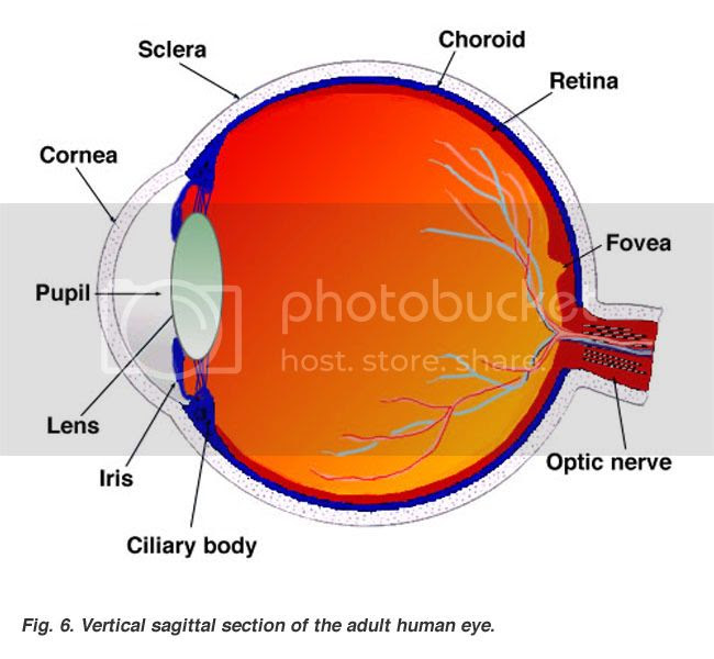 Cross-section of the human eye, taken from Webvision