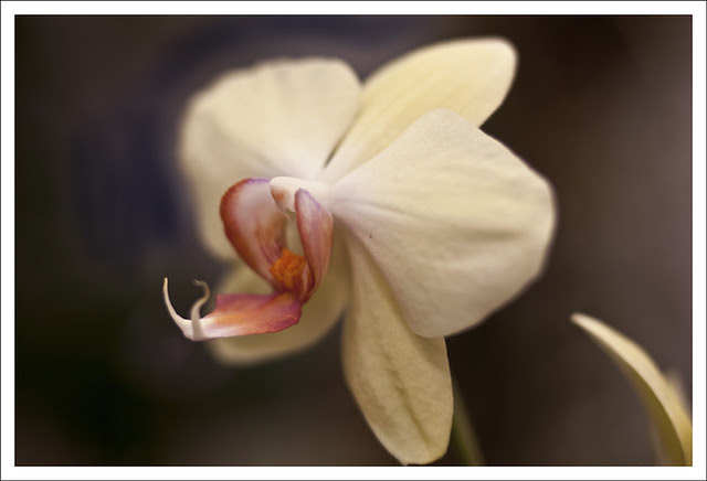 Orchid Show At MoBot 8