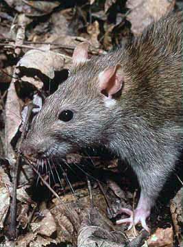 File:Rattus norvegicus 1.jpg