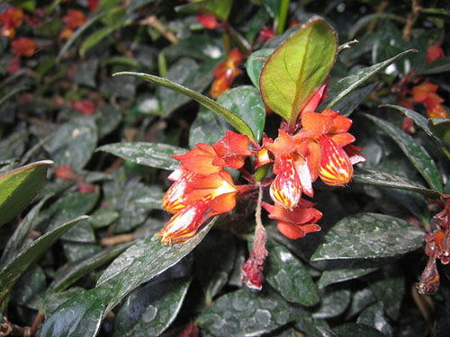 columnea goldfish plant. Goldfish Plant: There are over