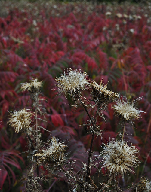 Thistle and Sumac