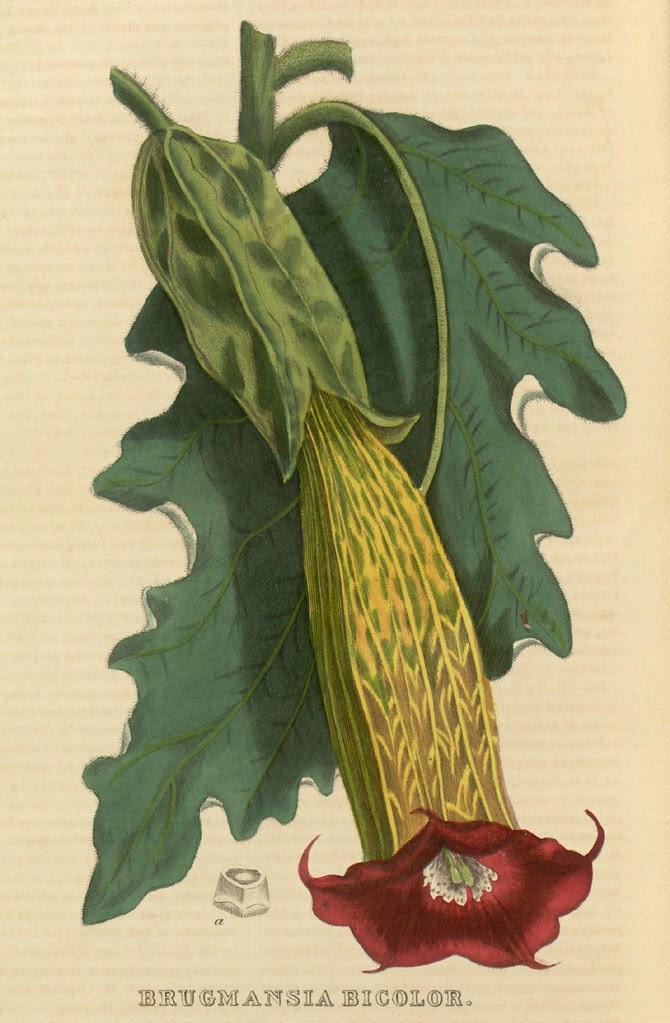 Brugmansia bicolor
