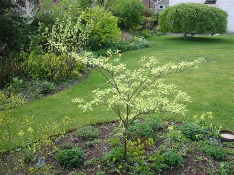 Cornus controversa variegata : Grows on You