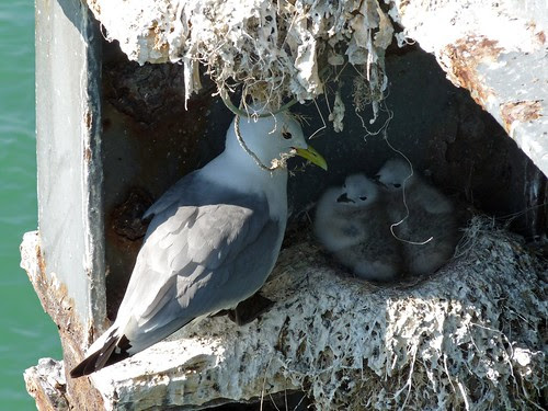 22052 - Kittiwakes on Mumbles Pier