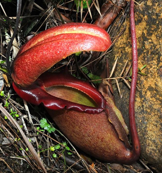 Kinabalu+0041+Nepenthes+rajah[1]