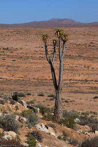 Cornellskop Kokerboom tree
