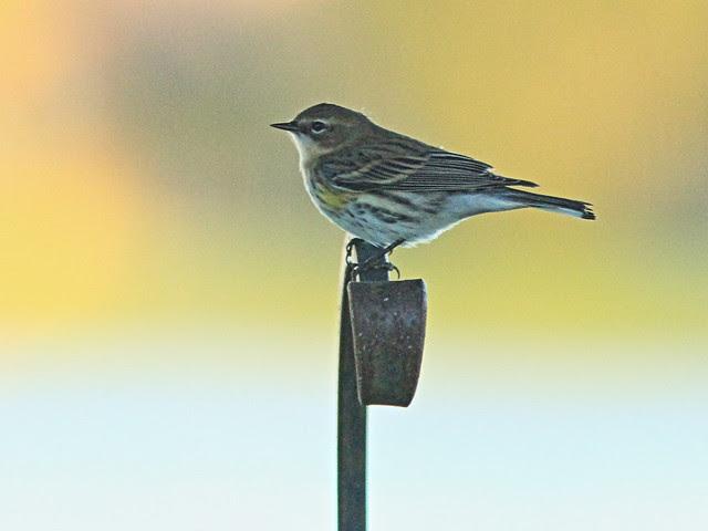 Yellow-rumped Warbler in yard 2-20140219