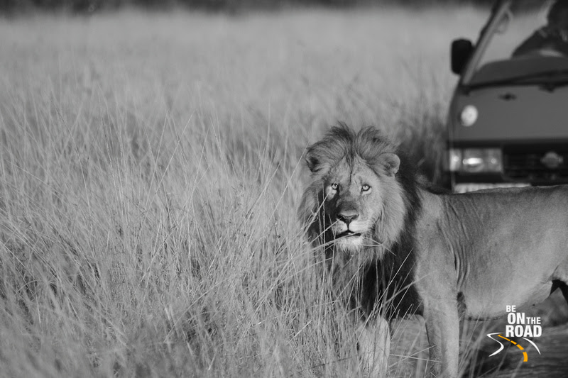 African Lion in Monochrome