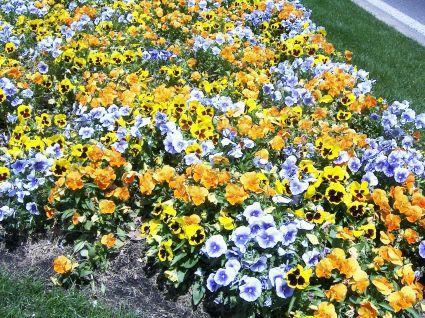 http://museo-flores.jpg2.com/albums/FLORES/normal_flores_azules-amarillas-naranjas_-fotos.JPG