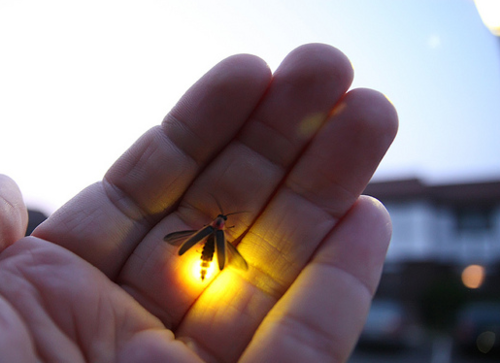 simply-beautiful-world:  ❥‿↗⁀simply-beautiful-world  THE MIRACLE OF NATURE THE TINY FIREFLY CREATES LIGHT WITHOUT DESTROYING ANYTHING OR BRINGING HARM TO ANYONE. WHY CAN'T WE DO THAT?