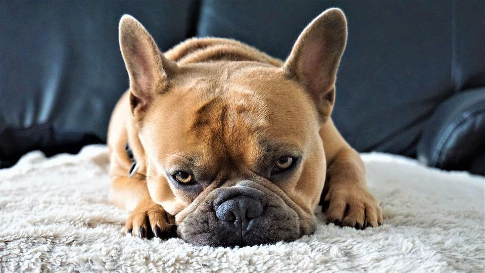 French Bulldog, Dog, On The Couch, Tired, Relaxed, Face