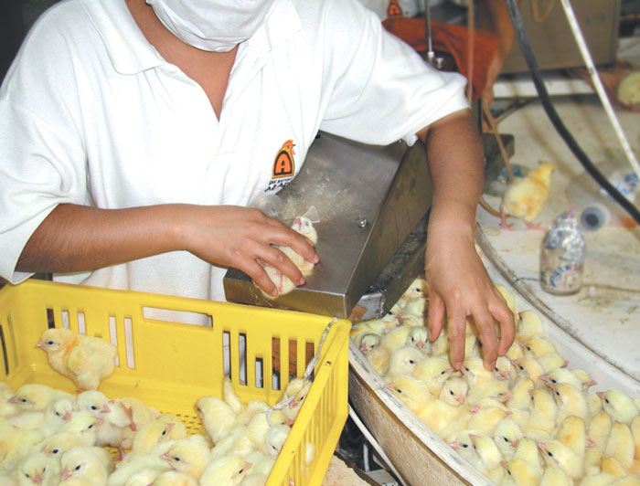 Vaccination of recently hatched chicks against Marek's disease