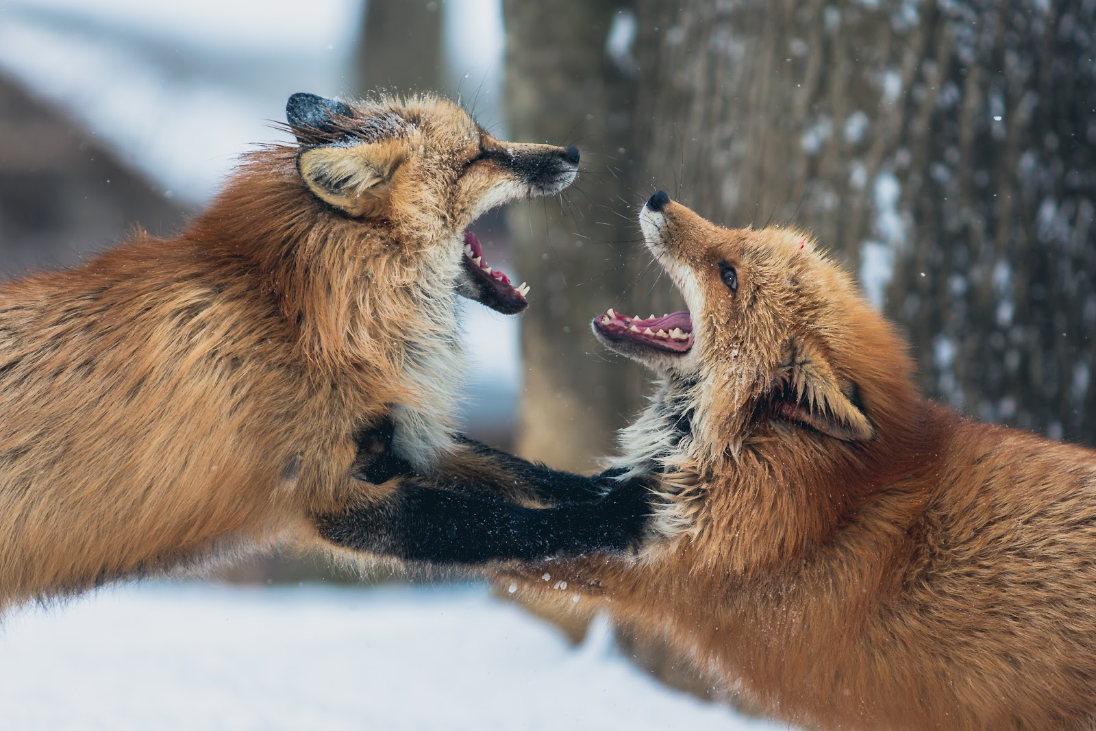 Two red foxes fighting in the snow with trees in the background that are out of focus