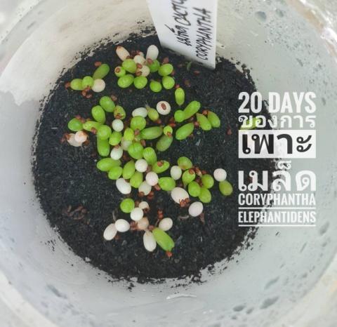การเพาะเมล็ด Cactus คืออะไร 06