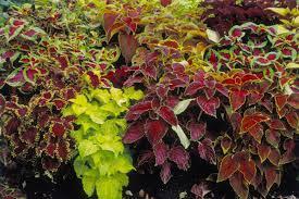 :Plant Images:Coleus.jpg