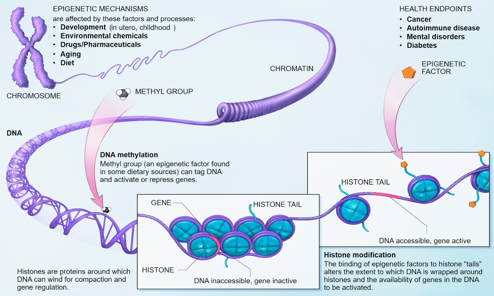 The location of epigenetic changes within chromosomes, depicting direct methylation of DNA or the histones that bind to the DNA sequence.