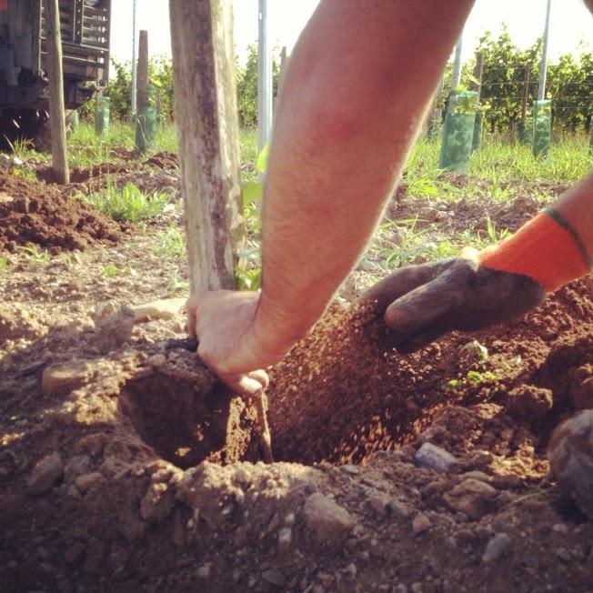 Le vigneron rebouche un trou après avoir placé le plant contre le tuteur.
