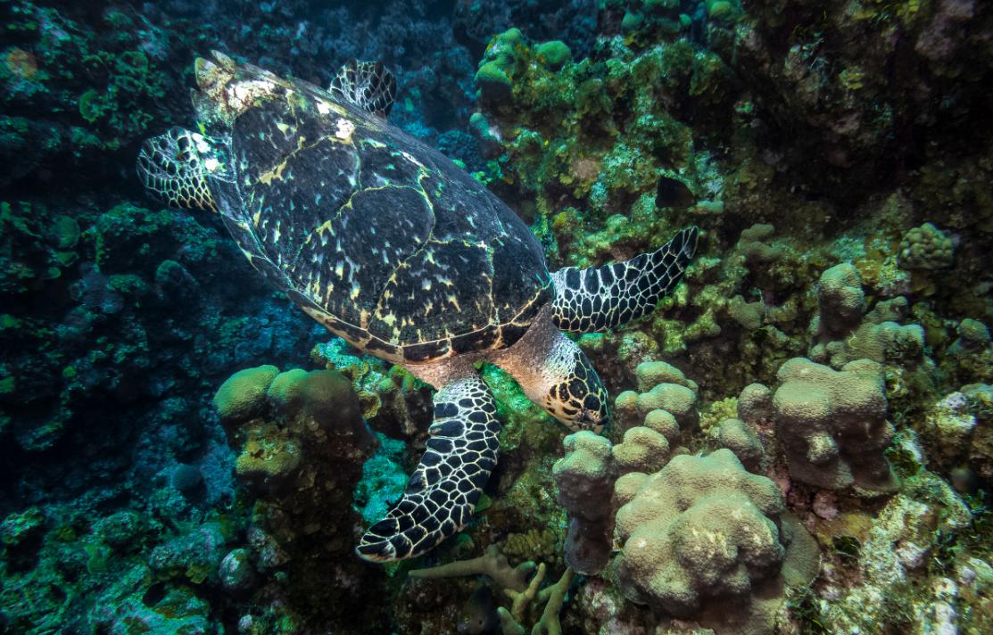 sea turtle eating Sea sponges