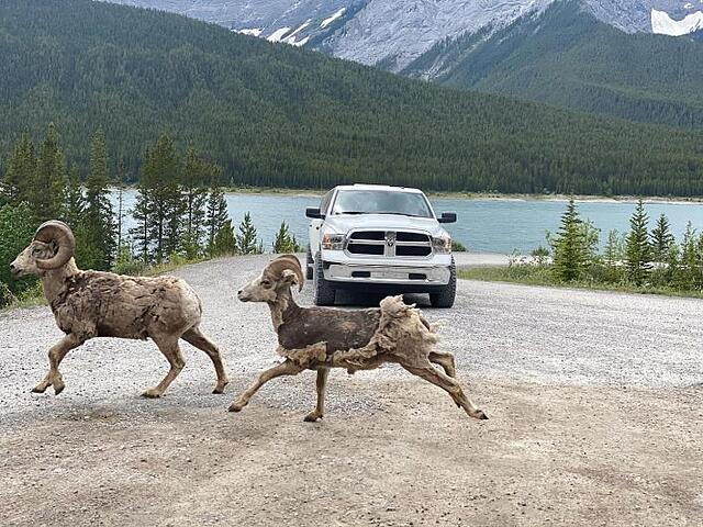 Bighorn sheep are a common sight in Banff National Park