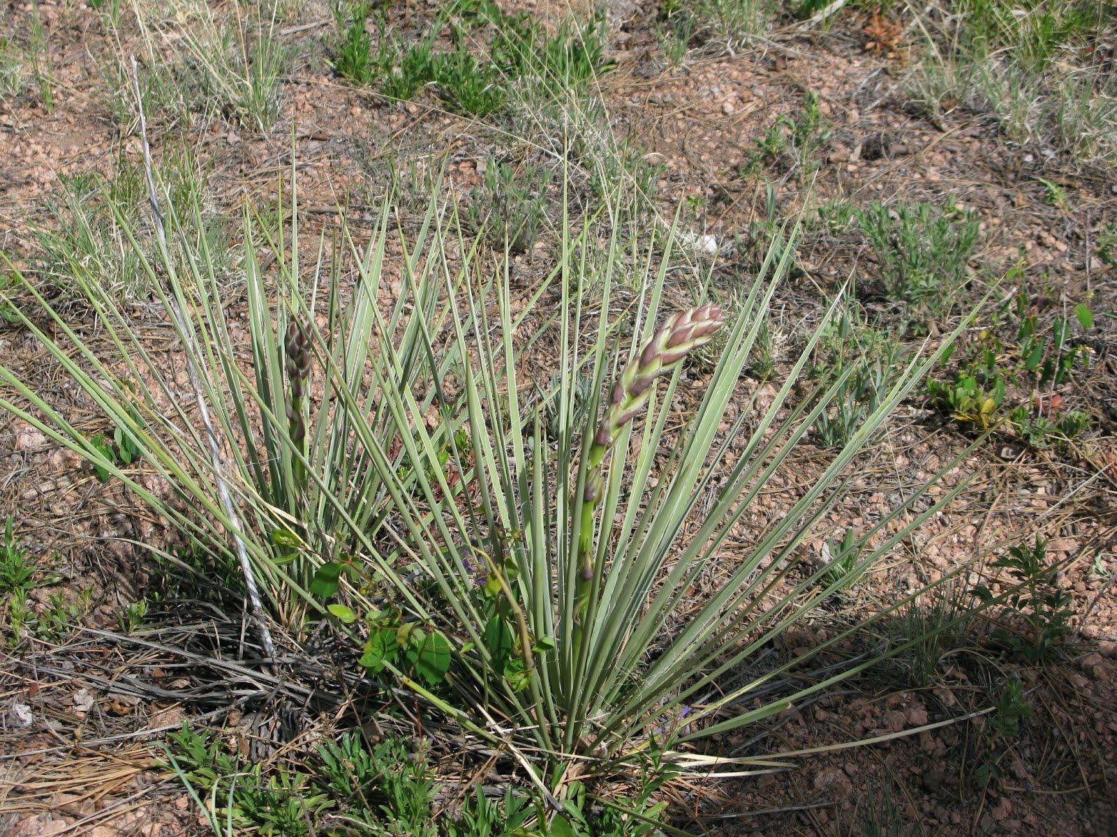 Narrowleaf yucca (Yucca glauca)