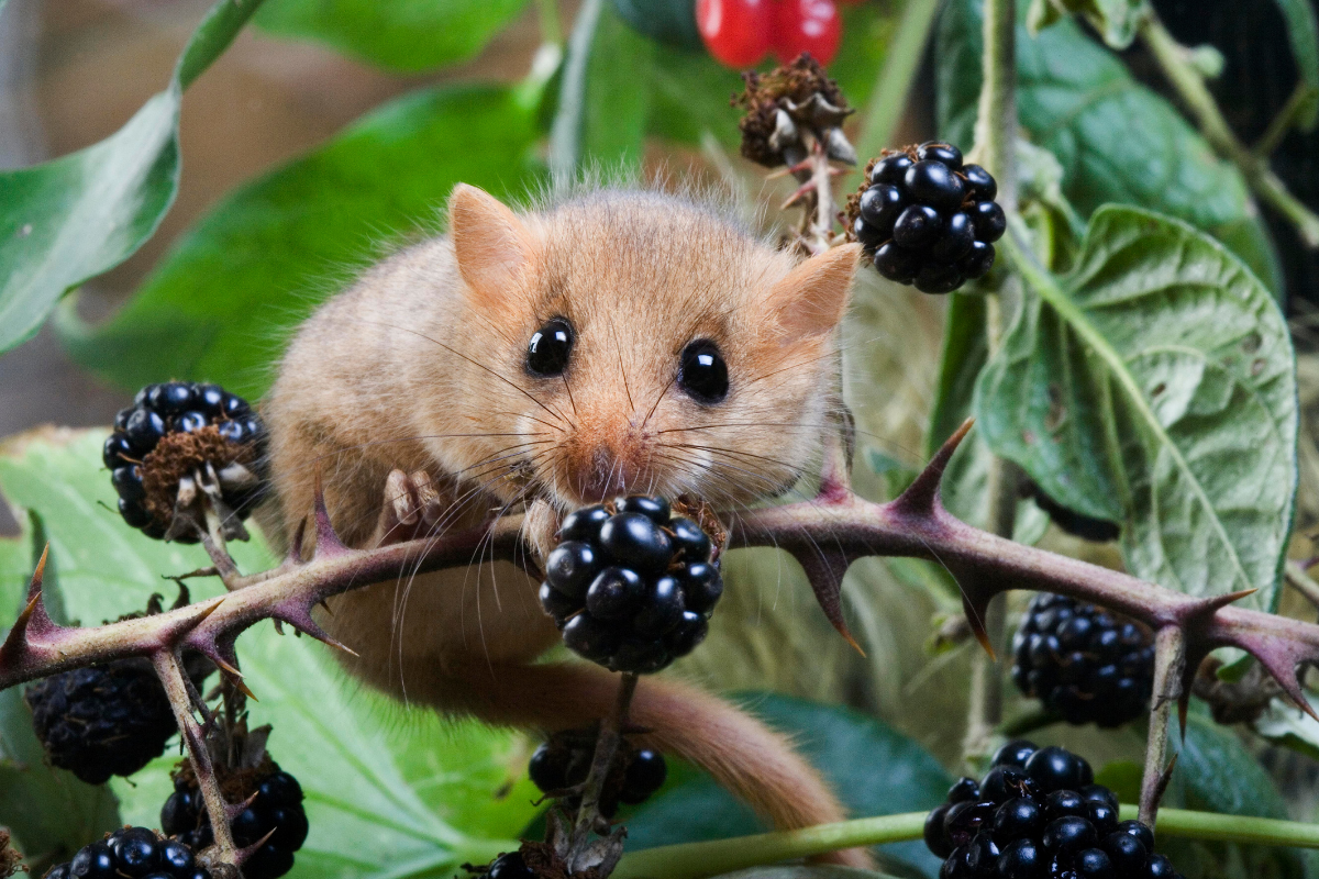though hazelnuts are a favourite food, dormice eat berries too