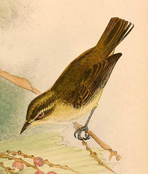 File:Phylloscopus sarasinorum sarasinorum 1898.jpg