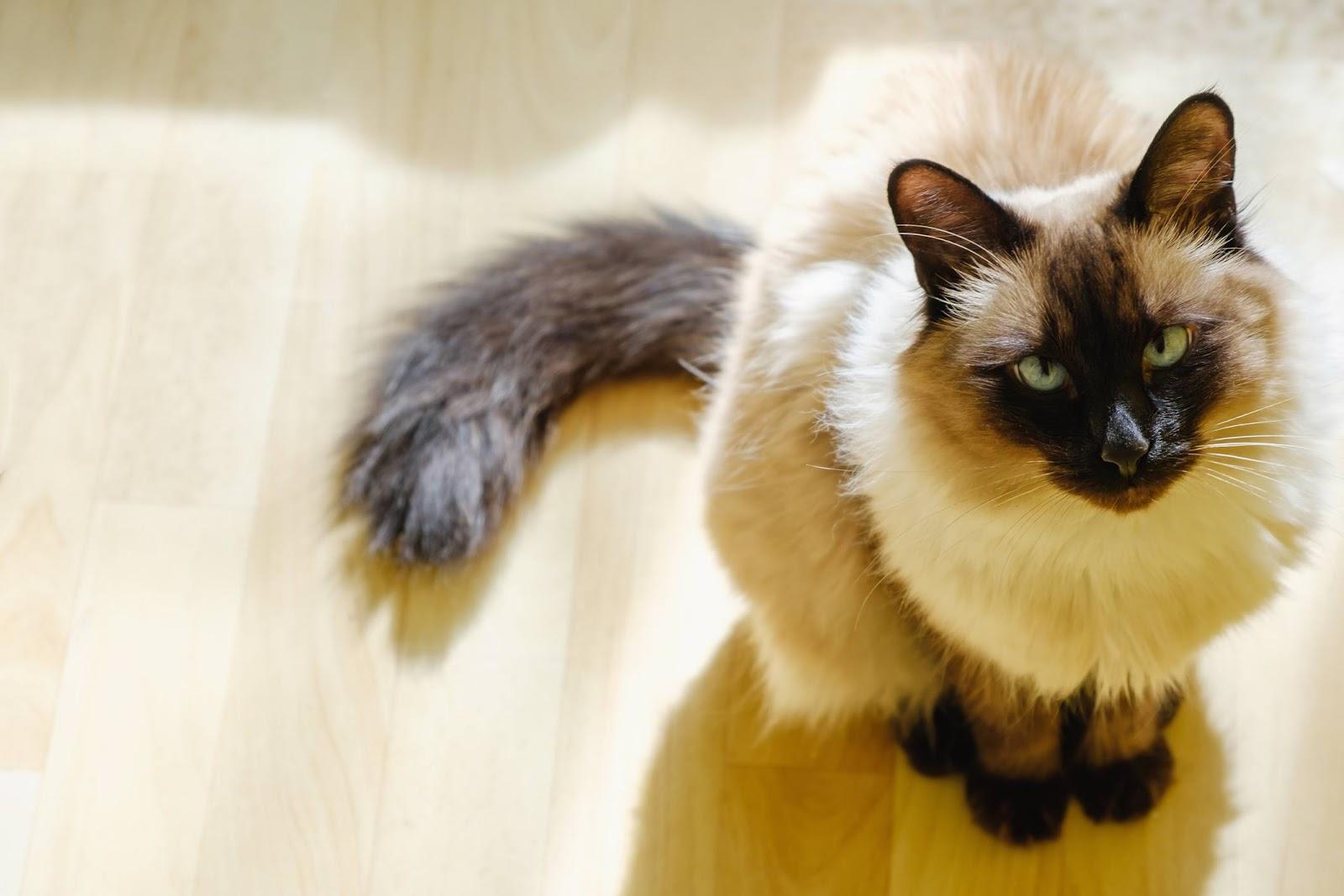 Loài mèo này được lấy tên từ vũ công Bali