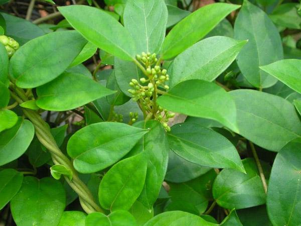 Các loại lá cây chữa bệnh tiểu đường hiệu quả  - Ảnh 5