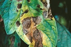 Doença do tomateiro - fungo 4