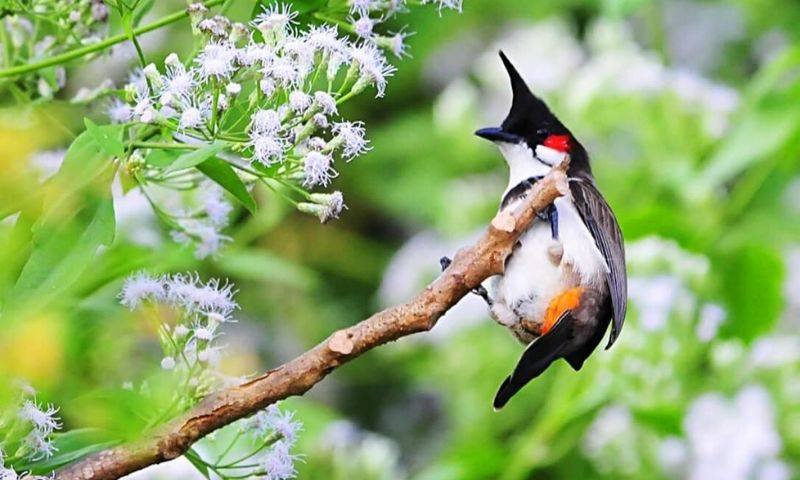 mơ thấy chim chào mào