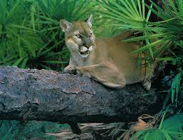 Description: Puma concolor coryi jpg.jpg