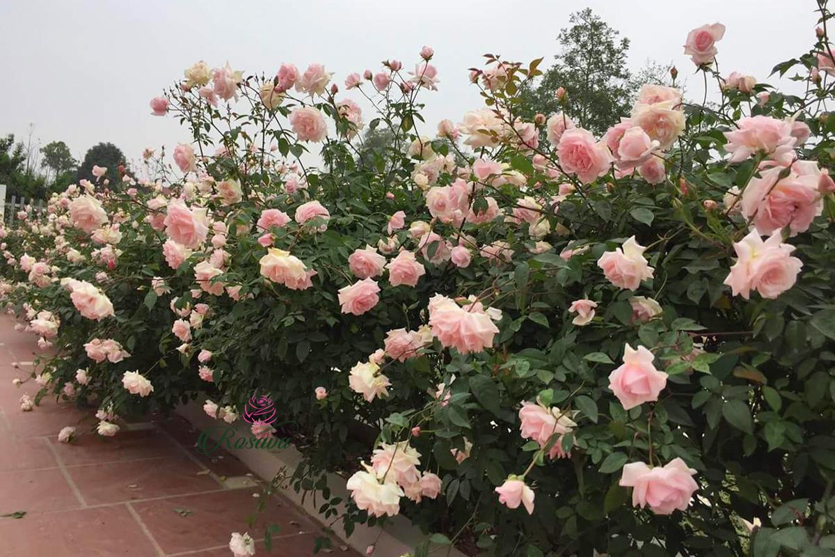 Sử dụng hoa hồng phấn để truyền đạt những cảm xúc nhẹ nhàng