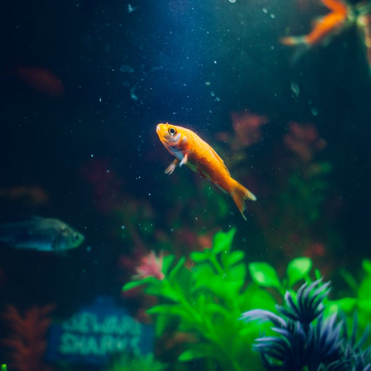 goldfish-animal-fish-pet-72288.jpg