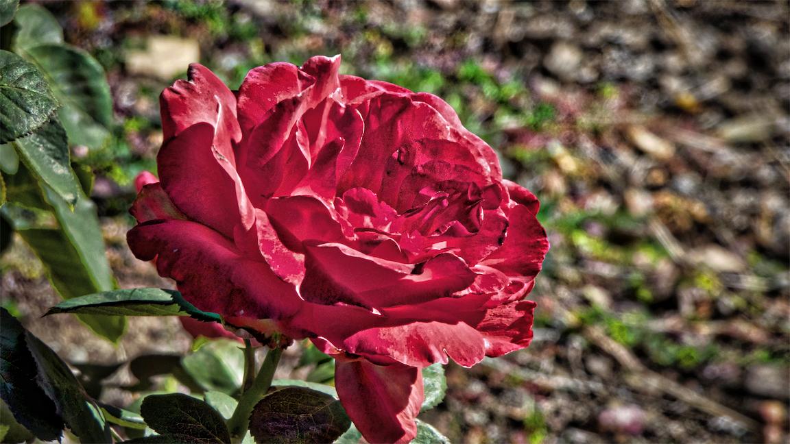 Sw Rose 6.jpg