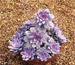Image result for succulent graptoveria pentandrum