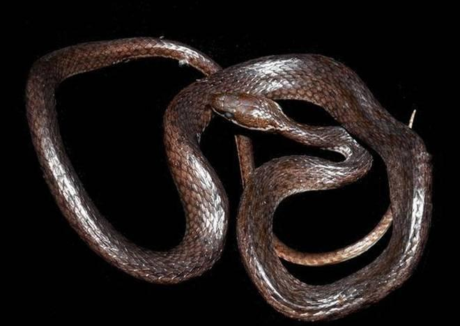 Image result for Crying Snake in Arunachal Pradesh