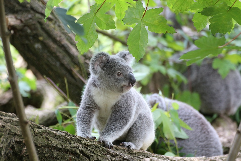 Koala, Bear - Free images on Pixabay