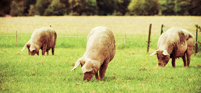 Three Pigs In A Field