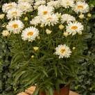 https://www.vitroflora.pl/img/produkty/rosliny/_137X137/leucanthemum-victorian-secret_70719_2.jpg