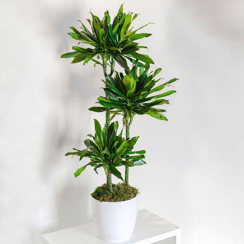 Dracaena-Lisa-Janet-Craig-Plant_800x