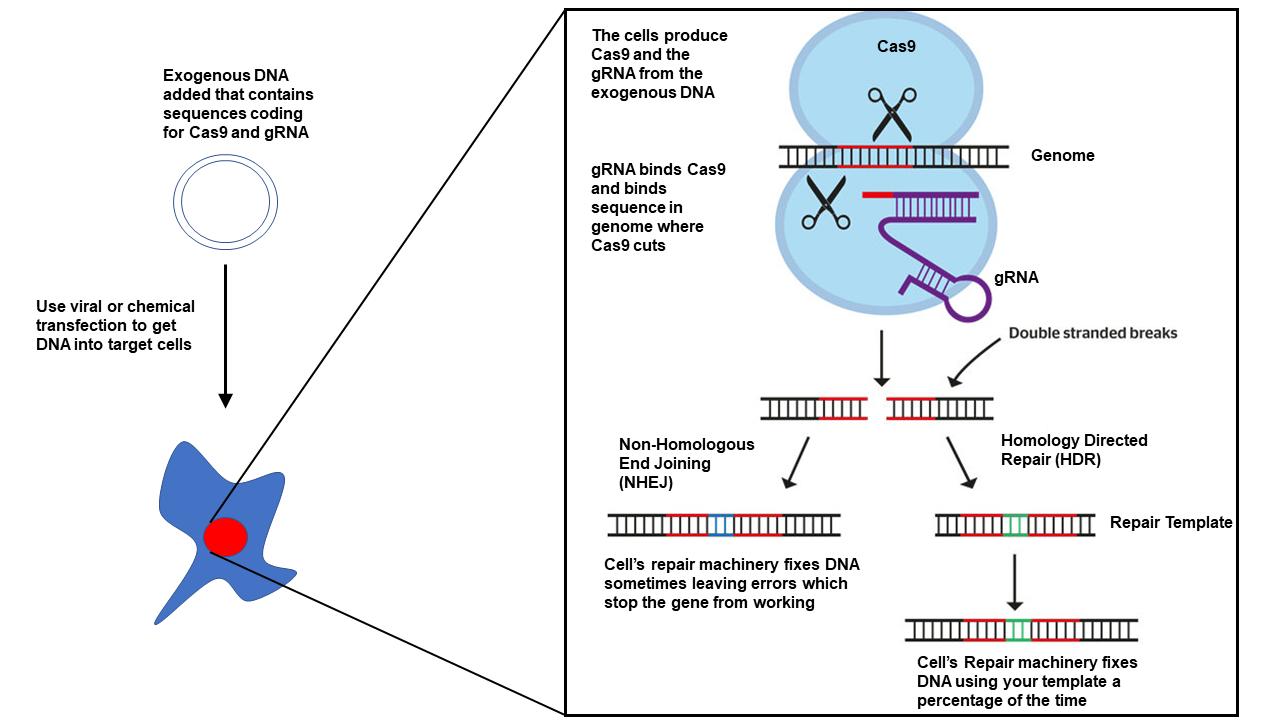 CRISPRdiagram.png