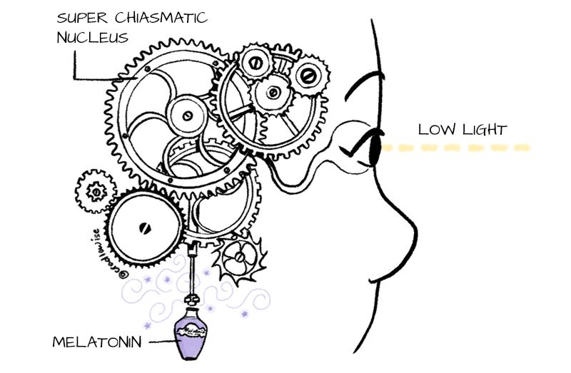 The Suprachiasmatic Nucleus (SCN) as a masterclock inside our brain.
