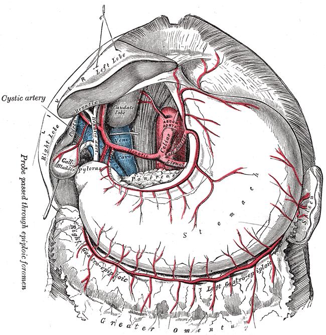 Vesícula y vías biliares: anatomía y generalidades - AnSRo