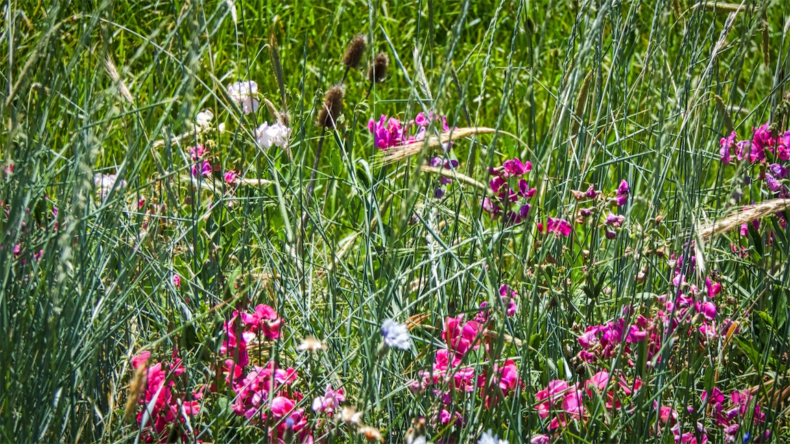 Roadside Wildflowers 1.jpg